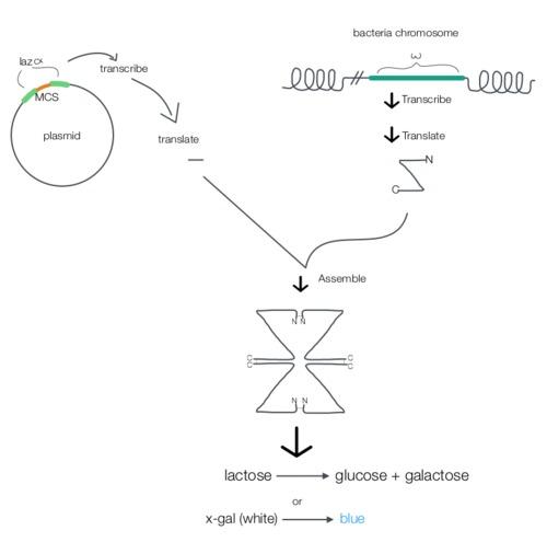 LacZ-complementation.png